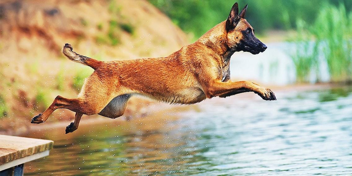 Kraftvoller Belgischer Schäferhund Malinois im Sprung